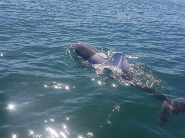 Австралийские cотрудники экстренных служб ищут одетого вфутболку дельфина