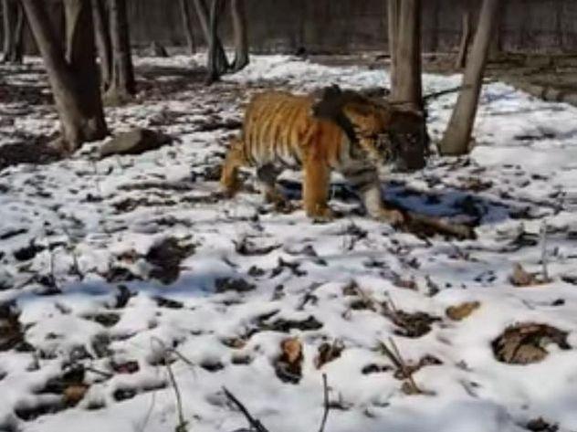 Сын тигра Амура в день рождения распугал окрестных котов
