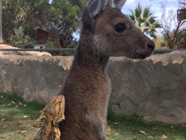 Дружелюбная ящерица оседлала кенгуру