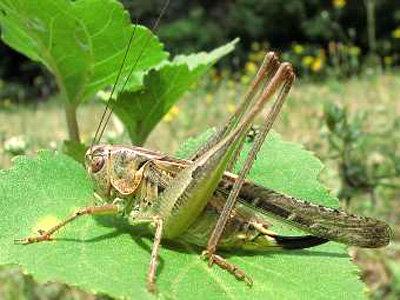Сверчок Platycleis affinis. Фото insecte.org