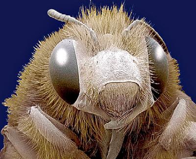 Пчелиная матка - большая начальница в улье