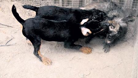 На притравку дикие звери попадают разными путями: одних ранеными подбирают на охоте, других привозят детёнышами, третьих покупают на зверофермах