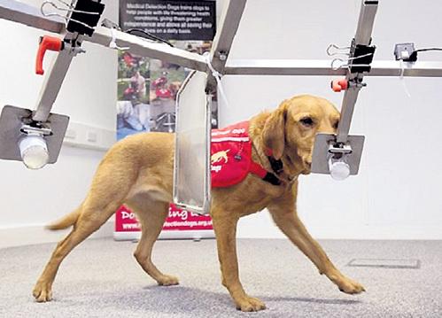 Лабрадора Дейзи из Великобритании ещё в щенячьем возрасте научили реагировать на различия в запахе мочи здоровых и больных людей. Собака смогла унюхать рак у 550 человек...