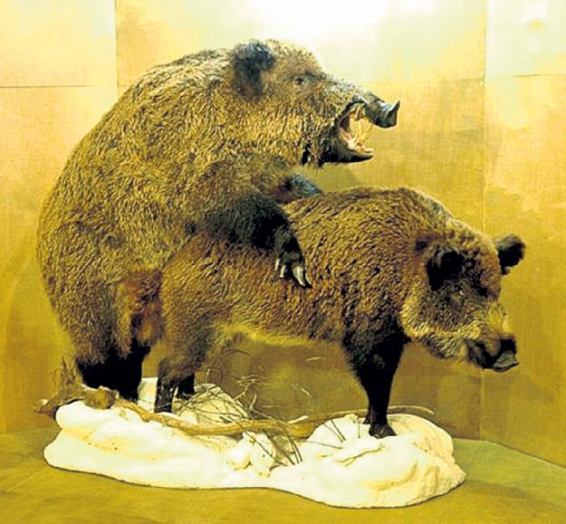 В гареме матерого кабана до 30 диких свиней, поэтому секач всегда может разнообразить свою половую жизнь