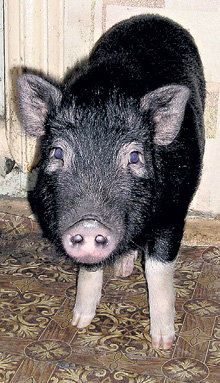Свин Глюк