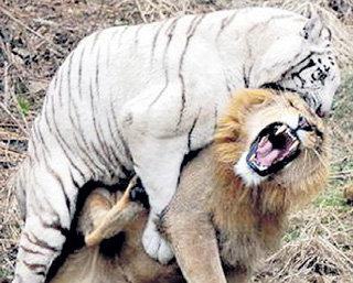 Роскошная грива не только привлекает самок, но и спасает льва от укусов в голову и шею