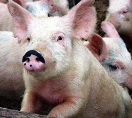 Предполагают, что свинка заразилась от кого-то из посетителей ярмарки