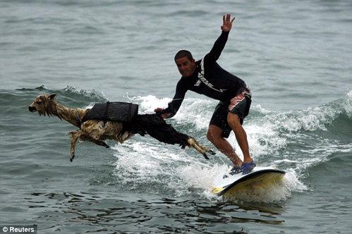 Животное периодически сваливается в воду, но это не мешает ему снова взбираться на серф и с удовольствием кататься дальше. Фото Daily Mail