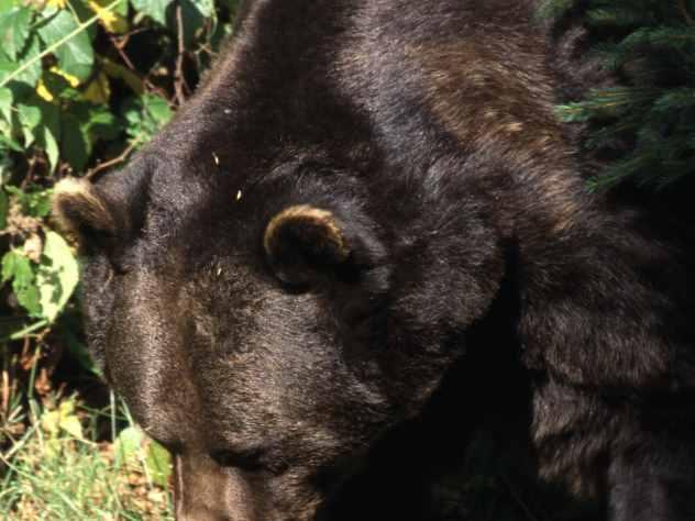 Медведи выучили Троицу и Пасху ради еды